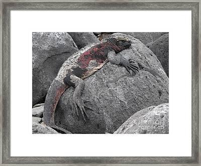 Marine Iguana  Amblyrhynchus Cristatus Framed Print by Liz Leyden