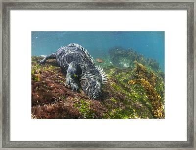 Marine Iguana Feeding On Algae Punta Framed Print by Tui De Roy