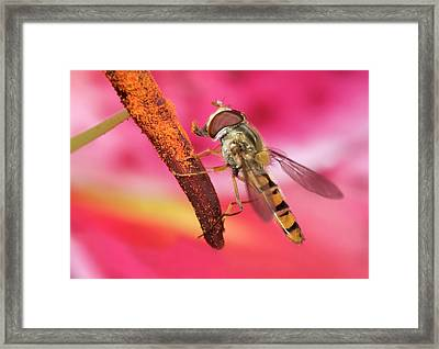 Marmalade Icon Hover-fly Framed Print by Nigel Downer