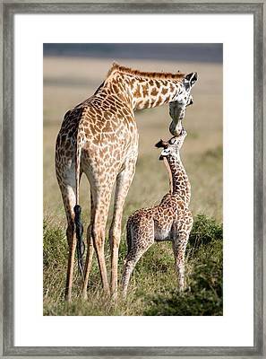 Masai Giraffe Giraffa Camelopardalis Framed Print by Panoramic Images