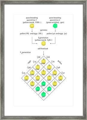Mendelian Genetics Framed Print by Science Photo Library