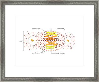 Metaphase In Cell Division Framed Print by Science Photo Library