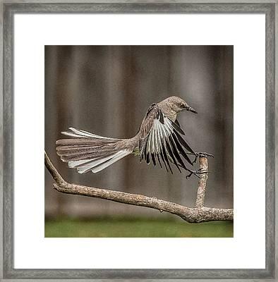 Mockingbird  Framed Print by Rick Barnard