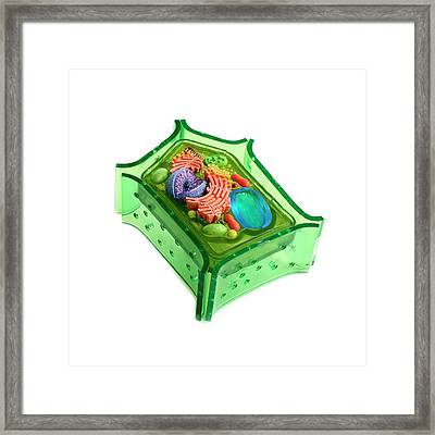 Model Of A Plant Cell Framed Print by Science Photo Library
