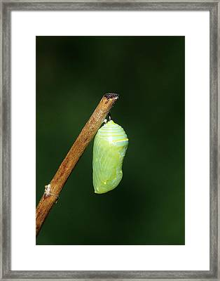 Monarch (danaus Plexippus Framed Print by Richard and Susan Day