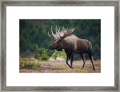 Moose Bull Walking On Autumn Tundra Framed Print by Milo Burcham