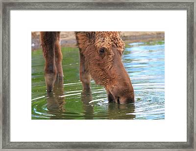 Moose In Water Framed Print by Dan Sproul