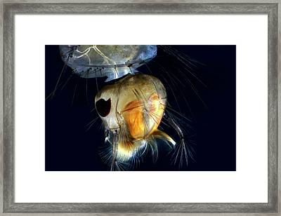 Mosquito Larva Framed Print by Frank Fox