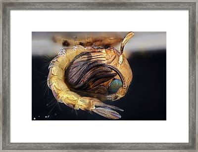 Mosquito Pupa Framed Print by Frank Fox