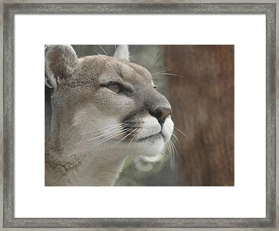 Mountain Lion Framed Print by Ernie Echols