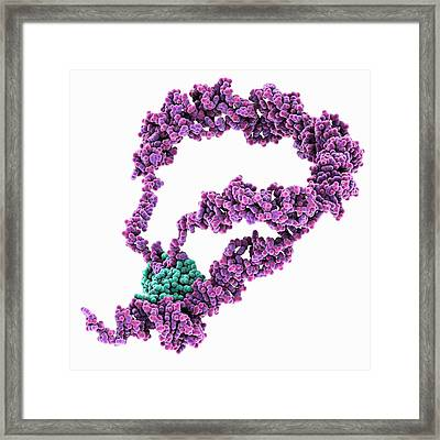 Mrna Bound To Rna Binding Protein Framed Print by Laguna Design