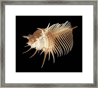 Murex Pecten Framed Print by Natural History Museum, London