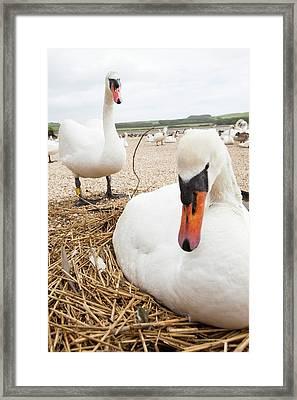 Mute Swan Framed Print by Ashley Cooper
