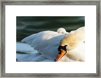 Mute Swan (cygnus Olor Framed Print by Martin Zwick