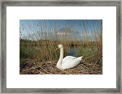 Mute Swan Framed Print by Duncan Shaw