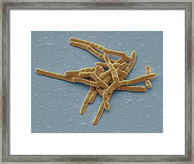Mycobacterium Smegmatis Bacteria Framed Print by Steve Gschmeissner