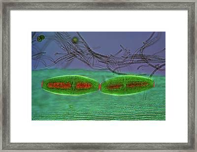 Netrium Desmids Framed Print by Marek Mis