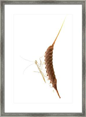 Newly Hatched Mantis Framed Print by Pan Xunbin
