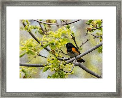 American Redstart 3 Of 3 Framed Print by Patti Deters