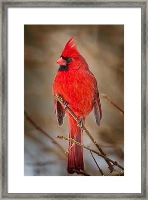 Northern Cardinal Framed Print by Bill Wakeley