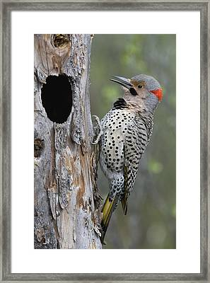 Northern Flicker At Nest Cavity Alaska Framed Print by Michael Quinton