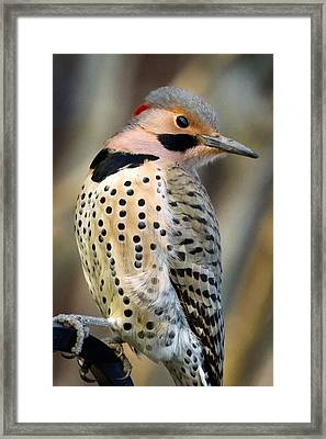 Northern Flicker Framed Print by Bill Wakeley