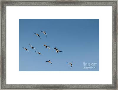 Northern Pintails  Framed Print by Robert Bales