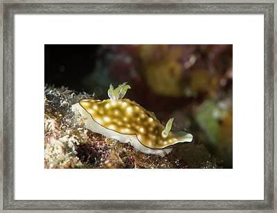 Nudibranch Framed Print by Louise Murray