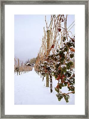 Okanagan Valley Vineyards In Winter Framed Print by Kevin Miller