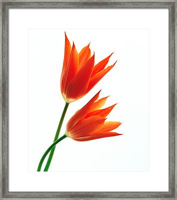 Orange Flowers Against White Background Framed Print by Panoramic Images