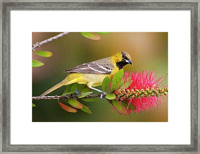 Orchard Oriole (icterius Spurius Framed Print by Larry Ditto
