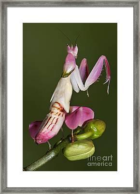 Orchid Mantis Framed Print by Francesco Tomasinelli