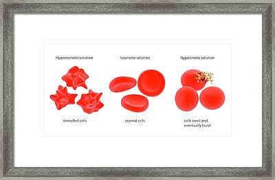 Osmosis In Red Blood Cells Framed Print by Science Photo Library