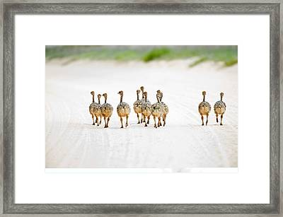 Ostrich Chicks Framed Print by Science Photo Library
