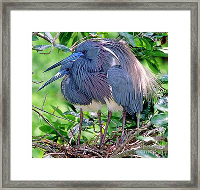 Pair Of Tricolored Heron At Nest Framed Print by Millard H Sharp