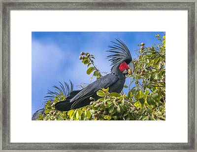 Palm Cockatoo Male Feeding On Nonda Framed Print by D. Parer & E. Parer-Cook