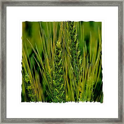 Palouse Wheat Iv Framed Print by David Patterson