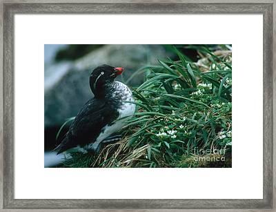 Parakeet Auklet Framed Print by Art Wolfe