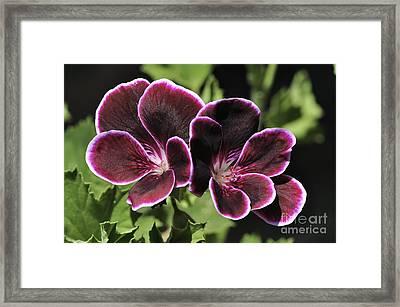 Pelargonium Black Prince Framed Print by Colin Varndell