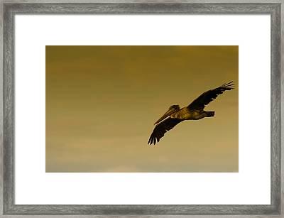 Pelican Framed Print by Sebastian Musial