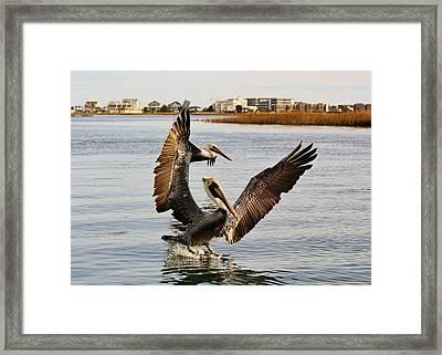 Pelicans Flying Through The Marsh Framed Print by Paulette Thomas