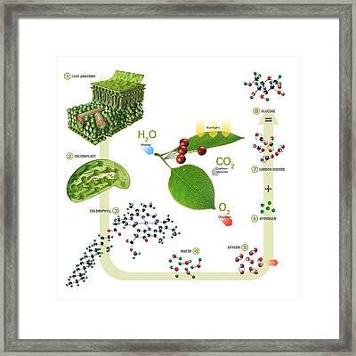 Photosynthesis Framed Print by Carlos Clarivan