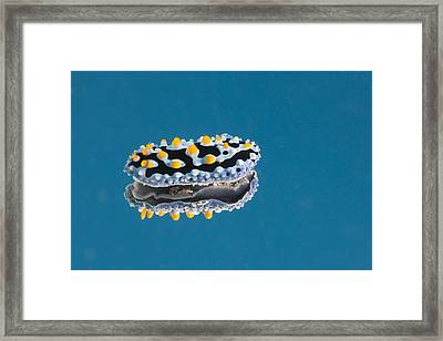 Phyllidia Coelestis Nudibranch On Blue Framed Print by Terry Moore