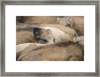 Piglets In Hochwildpark Rhineland Kommern Mechernich Germany Framed Print by Ronald Jansen
