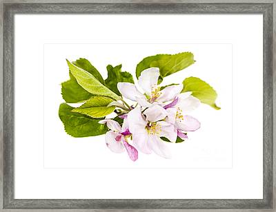 Pink Apple Blossoms Framed Print by Elena Elisseeva