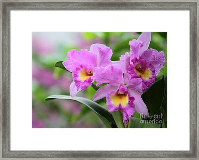 Pink Orchids Framed Print by Sabrina L Ryan