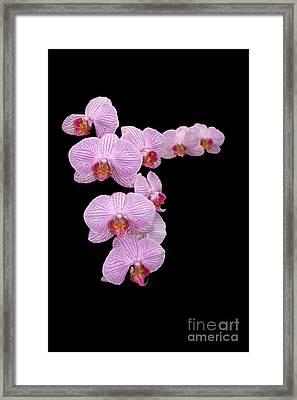 Pink Orchids Framed Print by Tom Prendergast
