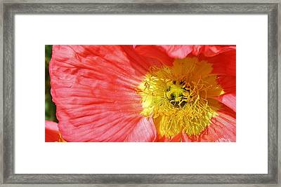 Pink Poppy Close Up Framed Print by Bruce Bley