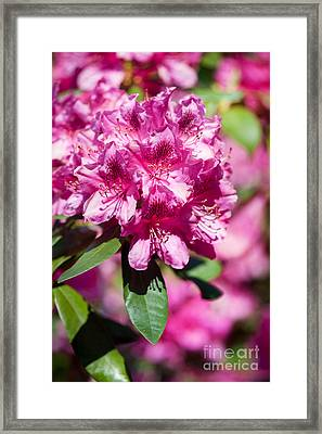 Rhododendron Or Azalea Bright Pink Flowers  Framed Print by Arletta Cwalina