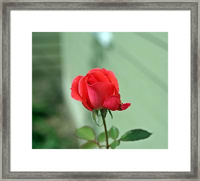Pink Rose Framed Print by Larry Stolle